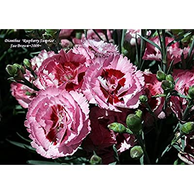 Carnation (Pink) aka Dianthus 'Raspberry Surprise' PP Live Plant Fit 1 Gallon Pot : Garden & Outdoor