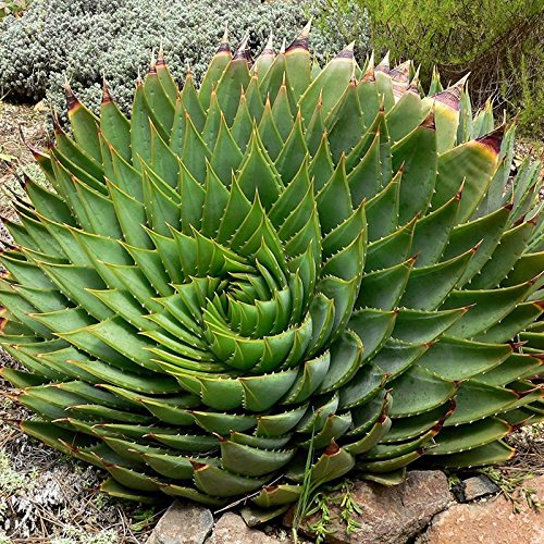 Rosepoem 100pcs//bag Rare Green Cactus Seeds Variety Exotic Flowering Color Cacti Rare Cactus Aloe Seed Office Plant Succulent Planting