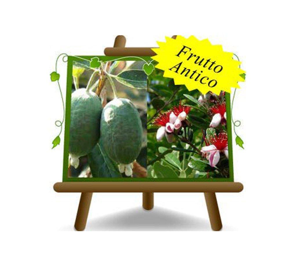 Feijoa Mammouth – pianta da frutto antico - Albero su vaso da 20 - max 100 cm - 2 anni EuroPlants Vivai