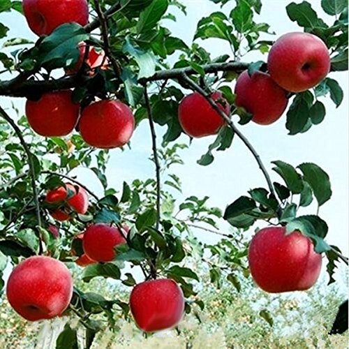 KINGDUO Pca//Pack 50 Carne Roja Apple Semillas Redlove Manzana Fruta Semillas Jard/ín del /Árbol De Plantaci/ón