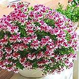 Pink Univalve Geranium Plant Flower Pelargonium for Rooms 100 Seeds #32799895746ST