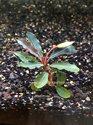 Image of AquariumPlantsFactory - Bucephalandra Red Mini (Loose Rhizome) Freshwater Live Aquarium Plants