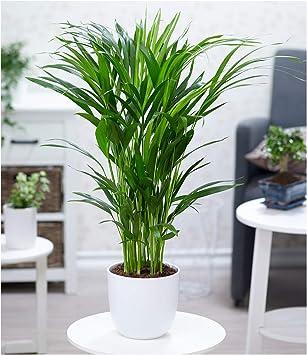 50 cm hoch 1 pflanze zimmerpalme goldfruchtpalme grunpflanze