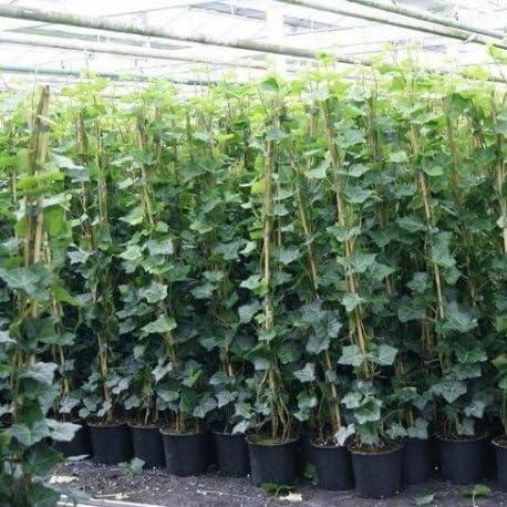 2 Hiedra - Hedera Hibernica 175-200 cm (escaladores de hoja perenne)   (para jardin, balcón y