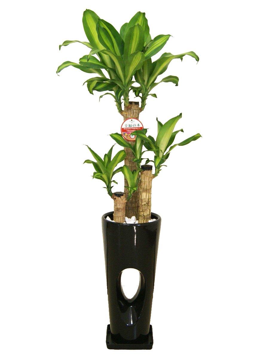 観葉植物 幸福の木(ドラセナ)7号穴高陶器鉢(黒) B00L8V4DQ2 黒 黒