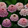 Kings Seeds - Zinnia, Zinderella Lilac - 20 Seeds