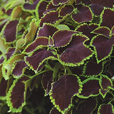 Chocolate Mint Coleus Seeds 25 pcs Seeds : Garden & Outdoor