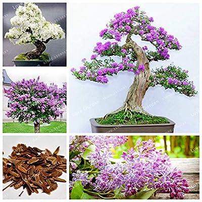 50 Pcs Purple White Lilac Bonsai Lilac Clove Bonsai Flower Bonsai Tree Bonsai Potted Plant for Home Garden - (Color: Mix): Garden & Outdoor