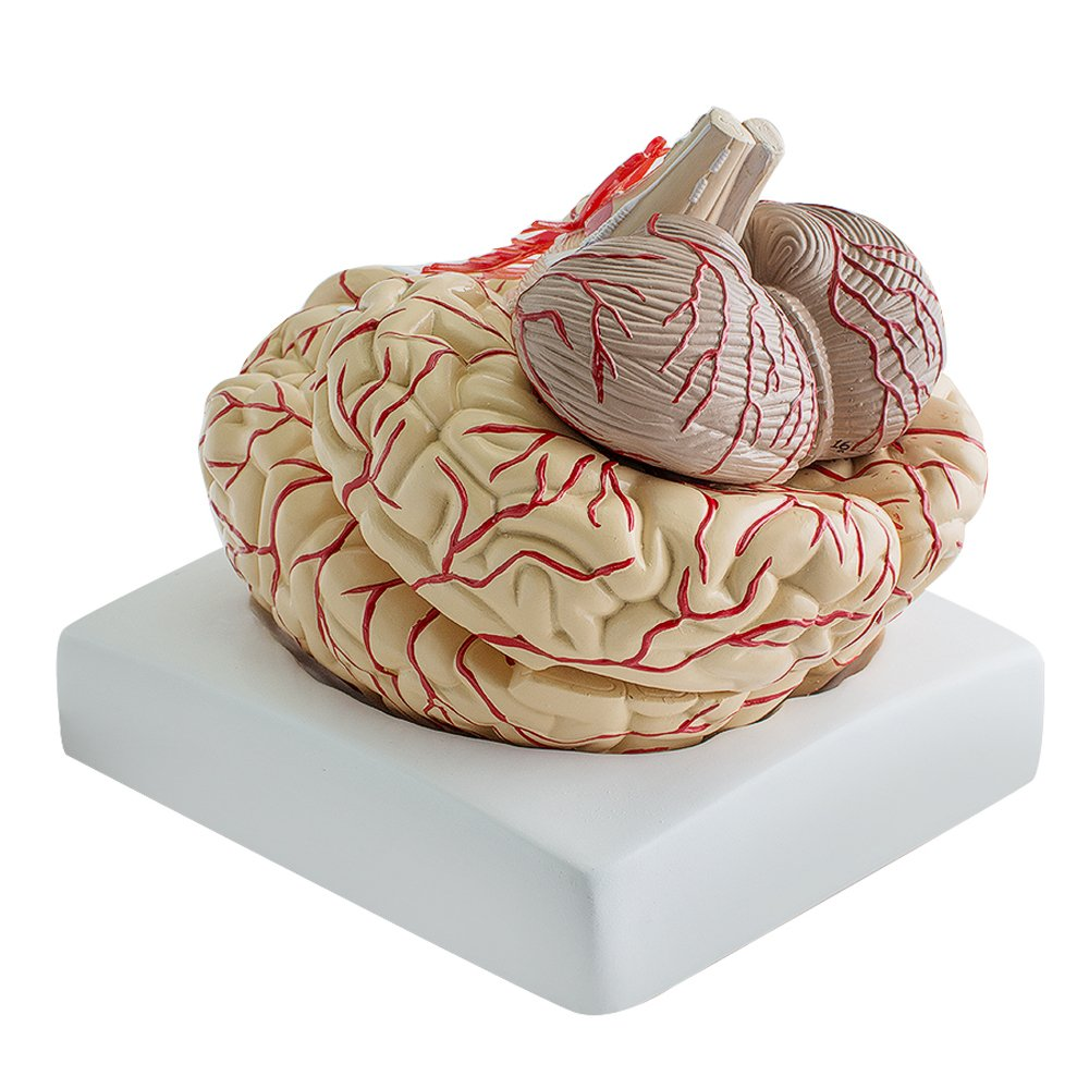 Denshine Human Anatomical Brain Professional New Dissection Medical Teaching Model for Medical Simulation, teaching and preoperative counseling, training