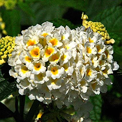 Amazon hot selling gimax lantana camara perennial bonsai hot selling gimax lantana camara perennial bonsai flowers 20 seeds several colors for your mightylinksfo