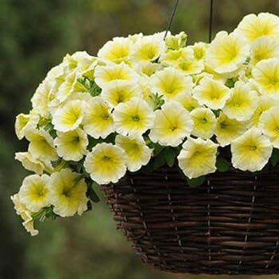 Liwei18 Seeds- Home Garden Rare Petunia White Blue Flower Morning Glory Seeds Flowers : Garden & Outdoor