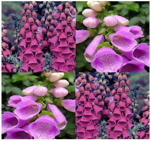 (4 Packs x 8000 PURPLE FOXGLOVE Flower Seeds - Digitalis Purpurea Seed - FOXGLOVES ~ Full Sun Or Shade - Zone 3-9 - By MySeeds.Co)