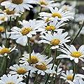 Park Seed White Breeze Shasta Daisy Seeds