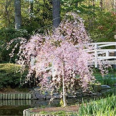 2 Dwarf Pink Weeping Cherry TREE1 FT Flowering Ornamental Trees Plants : Garden & Outdoor