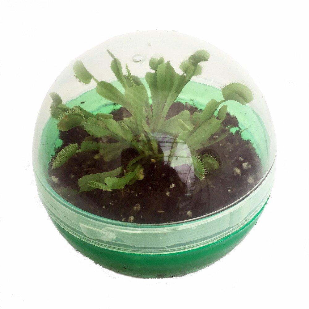 amazon com carnivorous venus fly trap bio dome terrarium live