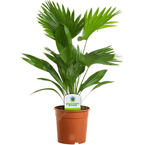 Palm In Pot.Livistona 1 Plant House Office Live Indoor Pot Potted Fan Palm Tree In 15cm Pot