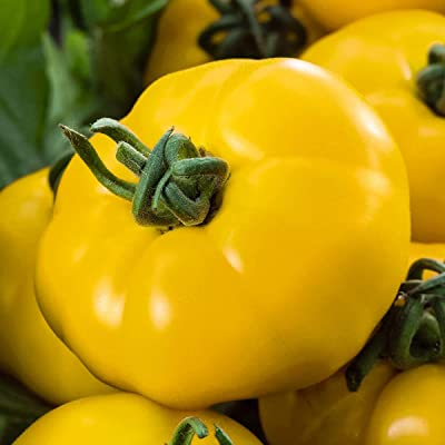 Bio Garden - Rare 50pcs Yellow Brandywine Tomato Seeds (Lycopersicon esculentum) High yielding Seeds Easy to Grow, Exotic Vegetable Seeds Hardy Perennial Garden : Garden & Outdoor