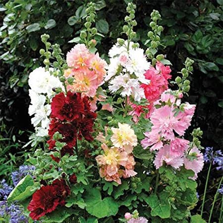 HOLLYHOCK SUMMER CARNIVAL MIX ALCEA ROSEA FLOWER SEEDS 30 FIRST YEAR BLOOM