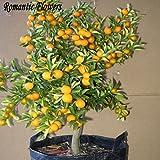 Balcón Patio de tiesto Árboles Frutales semillas plantadas, Semillas Semillas kumquat, naranja, mandarina, Citrus - 50 partículas / Bolsa