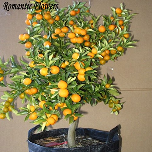 Balcón Patio de tiesto Árboles Frutales semillas plantadas, Semillas Semillas kumquat, naranja, mandarina, Citrus - 50 partículas / Bolsa SVI