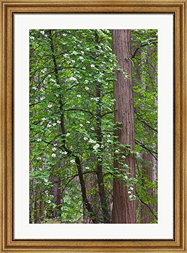 (Flowering Dogwood Tree Yosemite NP, CA by Jamie & Judy Wild/Danita Delimont Framed Art Print Wall Picture, Wide Gold Frame, 27 x 36 inches)
