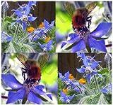 ~BULK WHOLESALE~ Borage Seed - EDIBLE Blue Flower - Borago officinalis Seeds ~ Improve Tomato Taste - INCREASE SOIL NITRO ~ Blue Flower With Honey Taste ~!! (00100 Seeds - 100 Seeds - Pkt. Size)