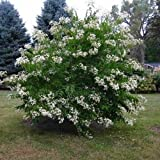 Seven Son Flower Tree Seeds (HEPTACODIUM miconioides) 20 Seeds