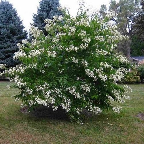 Seven Son Flower Tree Seeds (HEPTACODIUM miconioides) 20 Seeds by ginsengsun