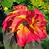 Amaranthus Bicolor Illumination Flower Seeds (Summer Poinsettia) 200+ Seeds