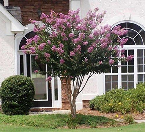 Muskogee Lavender Crape Myrtle Tree - Full Gallon - 2-4 Feet Tall by New Life Nursery & Garden
