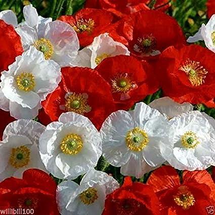 Amazon Shirley Poppy Seeds Mixed Papaver Rhoeas White To