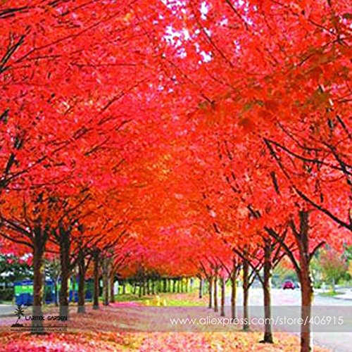 Planting Tree Seedlings (New True Japanese Red Maple Tree Seeds, Professional Pack, 20+ Seeds)