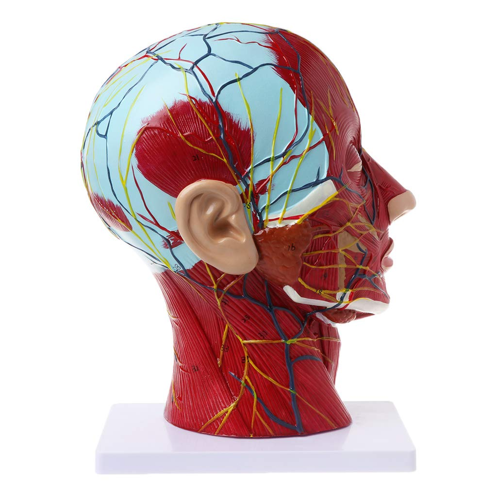 Fench Human Anatomical Half Head Face Anatomy Medical Brain Neck Median Section Study Model Nerve Blood Vessel for Teaching