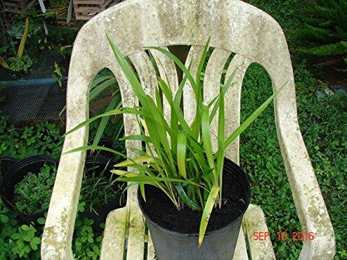 Date Palm Seedling (Senegal Date Palm/Phoenix reckinata 20 seedlings Bare root 12