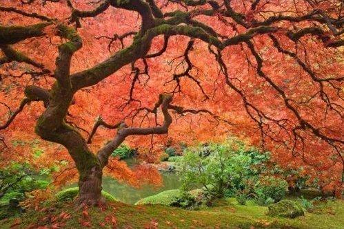 - Nianyan CAROLINA Red Maple Tree Acer Rubrum 25 Seeds