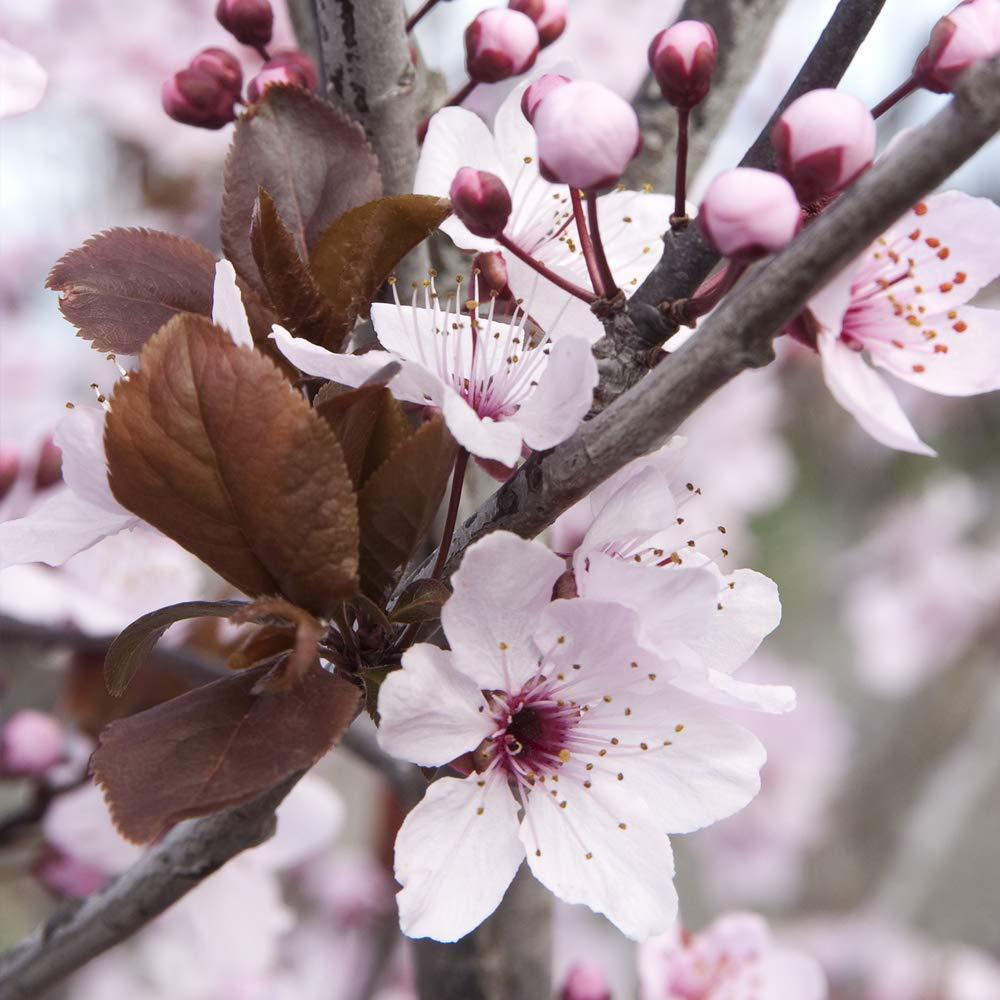 5-6ft Cherry Plum Ornamental Garden Tree Prunus cerasifera Princess