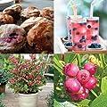 New Rare Pink Lemon-Aid Blueberry Seeds 25+