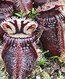 Cephalotus Follicularis EDEN BLACK Australian Pitcher Plant RARE 2 Seeds ~