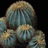 Blue Barrel Cactus Seeds (Ferocactus glaucescens) 20+Seeds