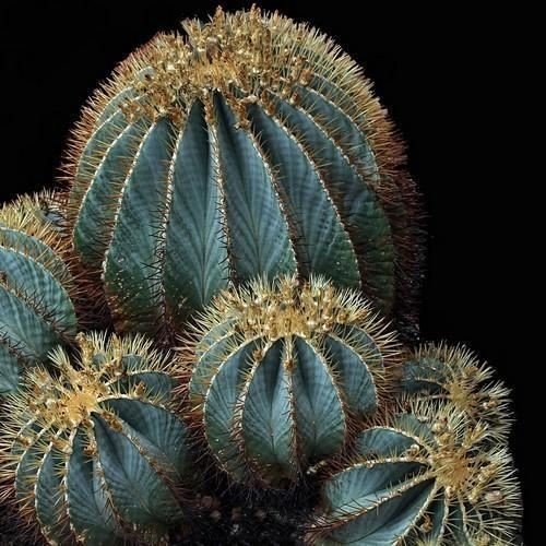 Barrel Cactus Seeds - Blue Barrel Cactus Seeds (Ferocactus glaucescens) 20+Seeds
