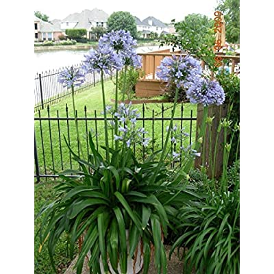 Agapanthus Africanus 'Lily of The Nile' - 10 Live Plants - 2