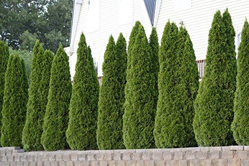 Thuja Emerald Green Arborvitae - 60 Live Plants - 2'' Pot Size - Evergreen Privacy Tree by Florida Foliage (Image #2)