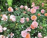 Apricot Drift Groundcover Rose - Quart Pot