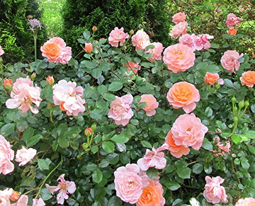 Apricot Drift Groundcover Rose - Quart Pot -