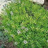 500 Samen Echter Thymian – Thymus vulgaris, mehrjährig