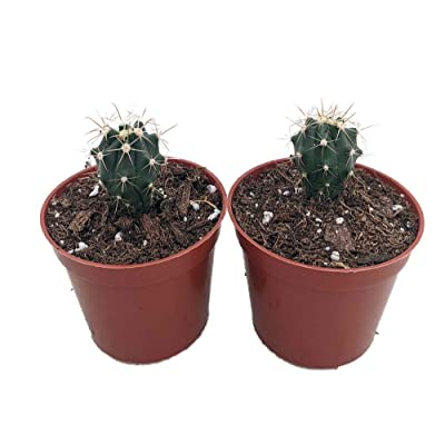 "Blue Barrel Cactus 2 Pack - 2.5"" Pots - Easy to Grow : Garden & Outdoor"