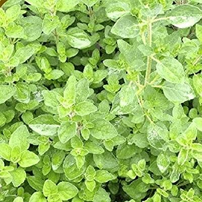 Everwilde Farms - Organic Italian Oregano Herb Seeds - Gold Vault Seed Packet