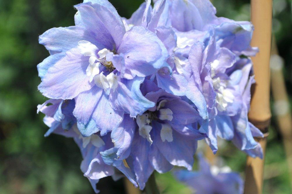 PERENNIAL FLOWER DELPHINIUM PACIFIC GIANT GALLAHAD 550 FINEST SEEDS BULK