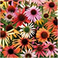 "Package of 20 Seeds, Coneflower ""Rainbow Mixture"" (Echinacea x hybrida) Non-GMO Seeds by Seed Needs"