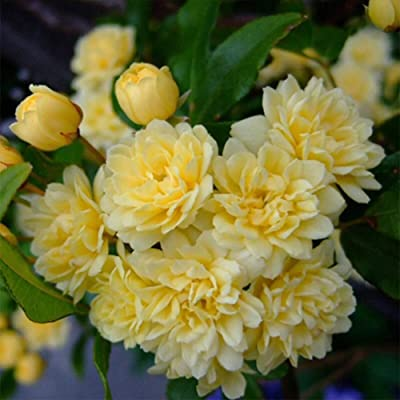 Jlong 20PCS Jasmine Flower Seeds Fragrant Rare Climbing Plants Seedlings Perennial Ornamental for Garden Wedding Party : Garden & Outdoor